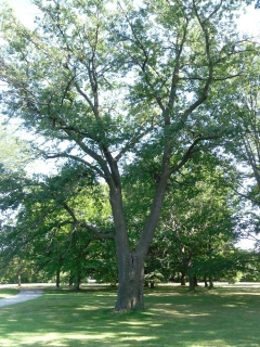 Tree By-law Review